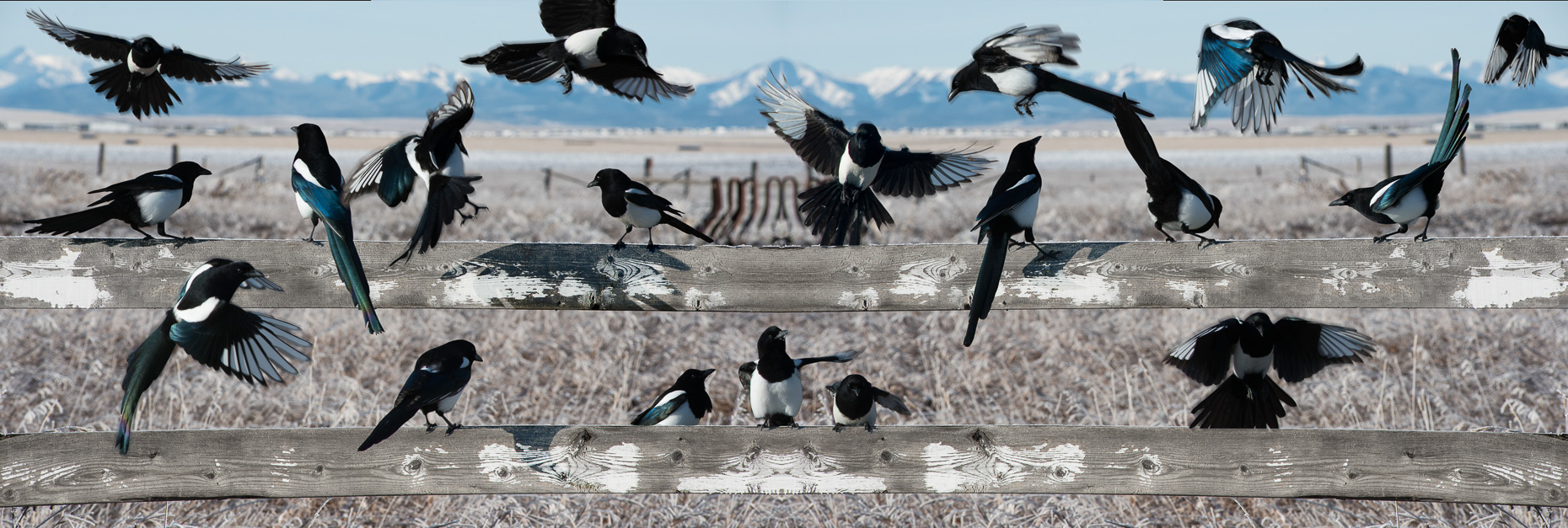 Magpies wither prairies Travel Albert Explore Canada Sun Peaks Photography